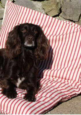 For an eco-conscious use of an old duvet or pillow, use it as a pet bed with one of our stylish cotton ticking dog bed covers.  Small measures 55 x 80cm Medium - 72 x 100cm and Large - 90 x 110cm