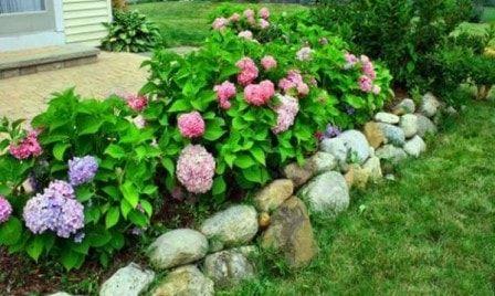 Пересадка гортензии без стресса для растения