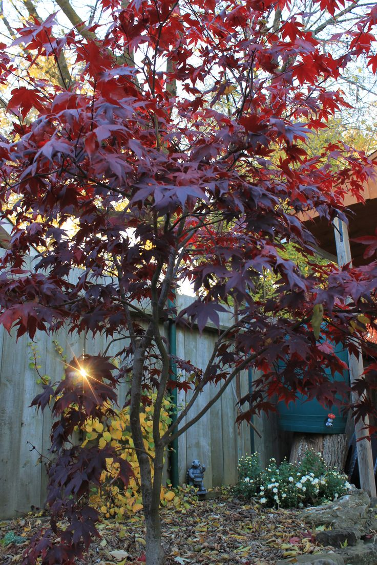 Use a Bloodgood Japanese Maple in any landscape design.