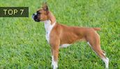 Boxer breed info,Characteristics,Hypoallergenic:No