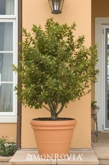 Sweet Bay -   Laurus nobles. Slender conical form grows into small pyramidal tree. Valued for strongly fragrant foliage, used as flavorful seasoning. Can be sheared into a formal hedge or topiary form. Good in containers. Evergreen. Slow growing to 12 - 15 ft. tall and wide as a shrub; 20 - 35 ft. tall as a tree.