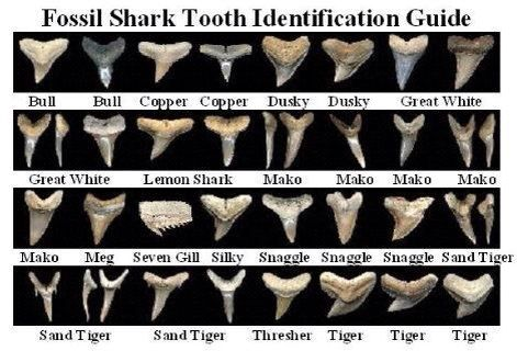 Fossil shark teeth                                                                                                                                                                                 More