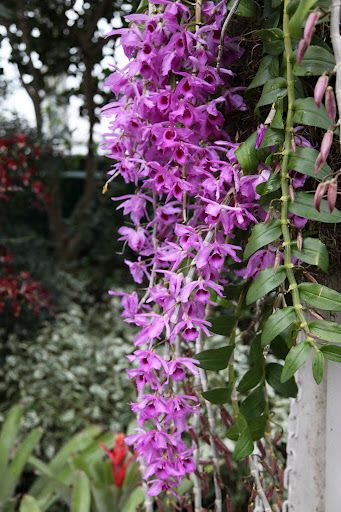 Cane Orchid 'Dendrobium anosmum' - The Cane Orchid is one of the largest and most diverse genera of orchids. Their thickened stems, called canes, store water and nutrients.