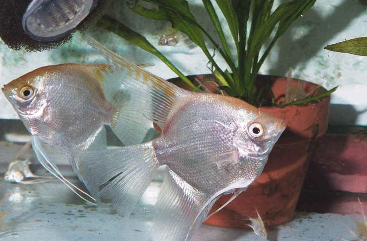 Angelfish, The o'jays and Fish on Pinterest: https://www.pinterest.com/pin/115686284152446149/