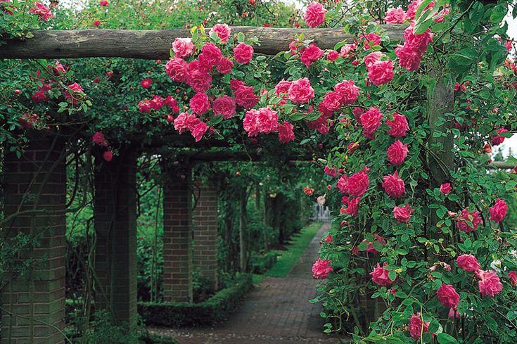 Havedrømme: Sådan får du flotte og sunde roser