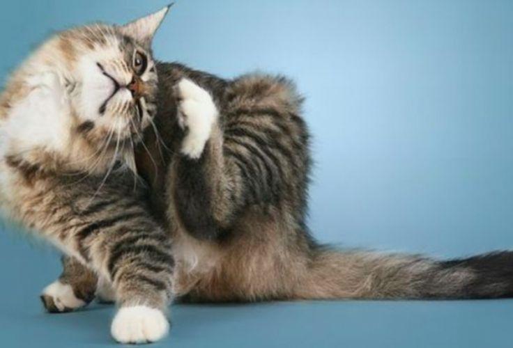 Un remède naturel imparable contre les puces et les tiques de votre chat