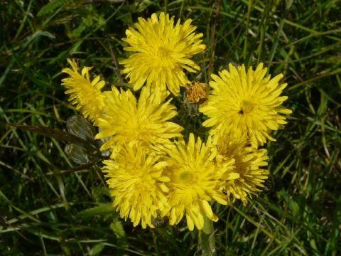 Hawkweed Oxtongue: a hawkweed-like non-hawkweed | The Nature of Dorset