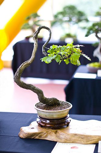 Oak Bonsai Tree (Quercus Robur) at Don Valley Bonsai Roadshow, Sheffield