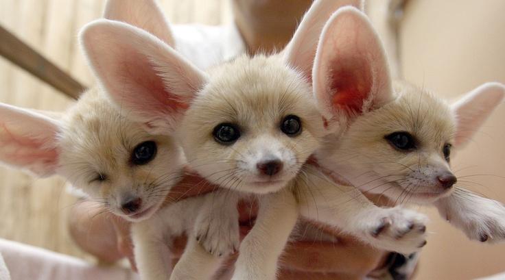 Fennec fox pups | Cute cute CUTE! | Pinterest