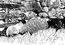 Yan Tan: two sheep huddle under a stone wall, large scraper board illustration from my own photo