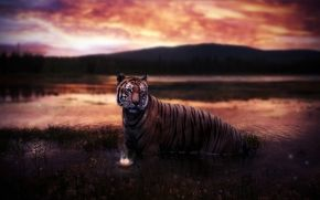 tiger, river, water, sunset, lily, flower, sky, Mountains, wild, nature