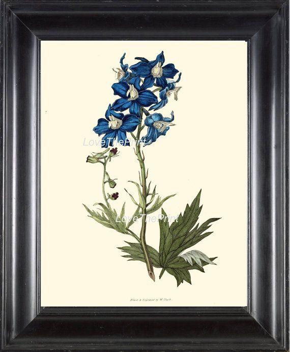 Botanical Print CL28 Art 4x6 5x7 8x10 11x14 Beautiful Blue Delphinium Flower Spring Summer Garden Plant Antique Home Wall Interior Design