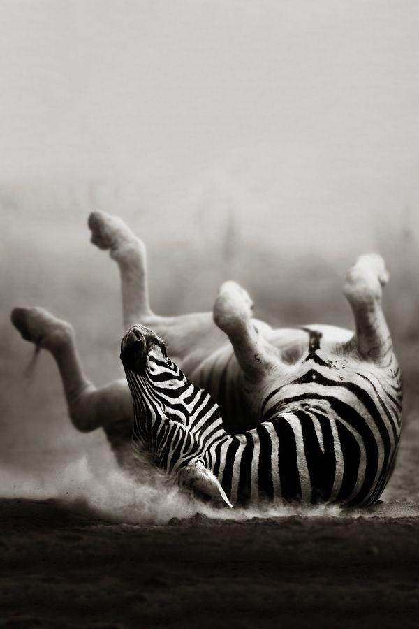 Zebra Rolling In Dust : (©)