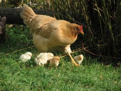 polluelos delicia