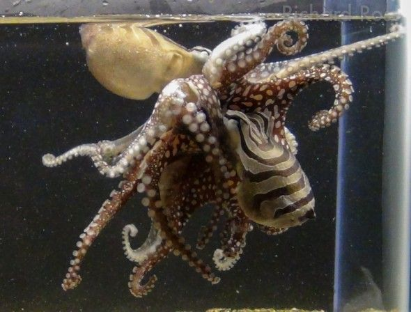 Rare Kissing Octopus Unveiled - Scientists are unveiling a rare octopus that has never been on public display before. Unlike other octopus species, Larger Pacific Striped Octopuses mate in an intimate clinch with their beaks and suckers pressed against each other