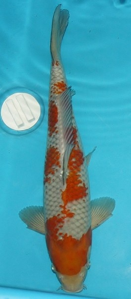 1000 ideas about koi for sale on pinterest koi ponds for Koi fish pond for sale