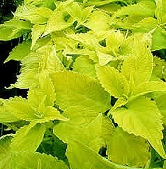 Coleus Wizard Sun Golden - my dad has this and two other varieties of coleus in a huge container pot by his drive...absolutely stunning