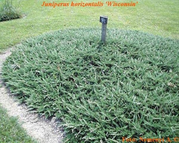 Juniperus horizontalis 'Wisconsin' - Greenscapes