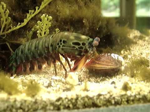 Mantis Shrimp Destroys Clam. This is pretty crazy. The Mantis Shrimp's claw strike is equal to the force of a bullet.