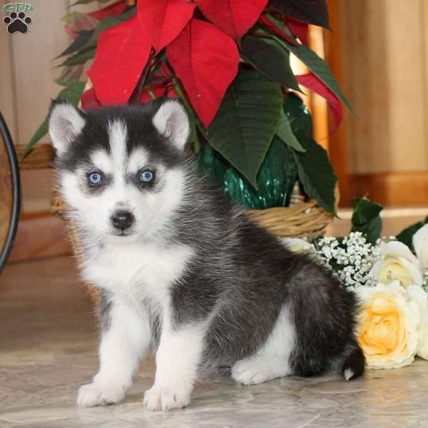 Trudy Pomsky Puppy For Sale In Delaware In 2020 Pomsky Puppies Pomsky Puppies For Sale Puppies For Sale