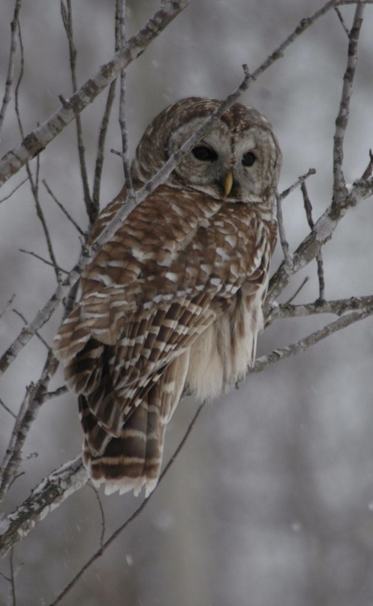 Owl, Rye, NH: Owl Spirit