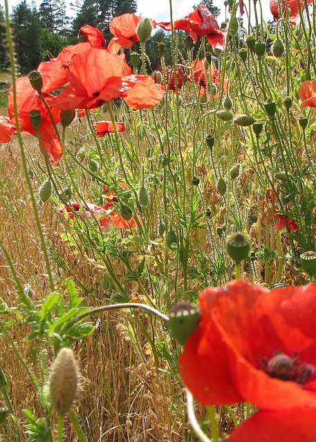 Poppies, Gotland by linnelinn, via Flickr
