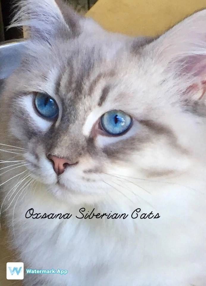 Siberian kittens for sale. Hypoallergenic cats. Beautiful, loving, bigger than an average cat, Siberian cats are hypoallergenic with doglike personalities. Great family additions.