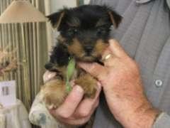 Australian Silky Terriers. Australian Silky Terrier puppies @ www.pups4sale.com.au