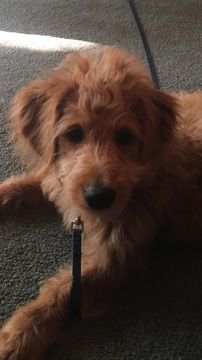 Goldendoodle Puppy For Sale In Saint Paul Mn Adn 56829 On