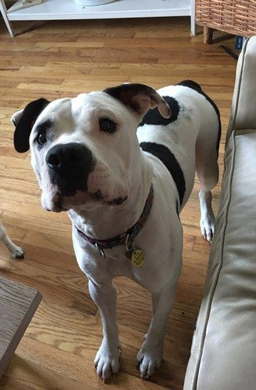 Check out Marsh's profile on AllPaws.com and help him get adopted! Marsh is an adorable Dog that needs a new home. https://www.allpaws.com/adopt-a-dog/american-bulldog/6139236?social_ref=pinterest
