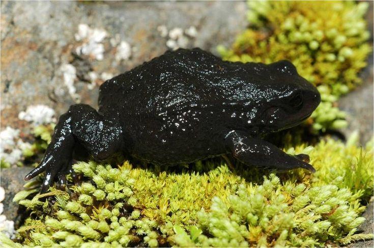 O Psychrophrynella illampu, encontrado em 2007 na Bolívia, é uma das 216 novas espécies de anfíbios descobertos na floresta amazônica nos últimos dez anos