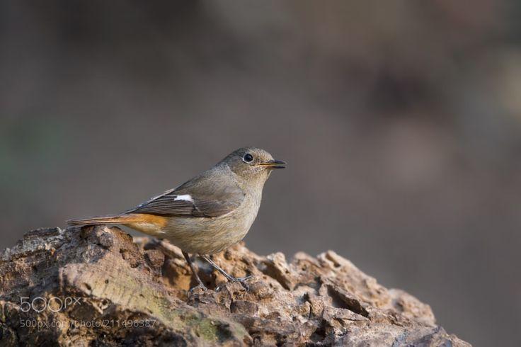 Daurian Redstart (F) by birdingangel via http://ift.tt/2r5xYFo