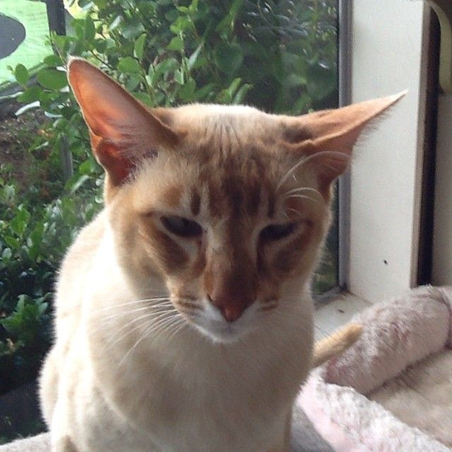 Apricot Point (AKA Red Point) Tonkinese, Harley #cat