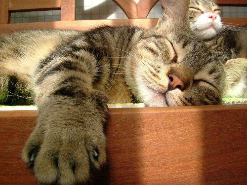 Tanto para el gato que vive en el interior como para el que lo hace en el exterior, dormir es la principal actividad para él. Mientras que un gato de interior duerme hasta 18 horas al día, un gato con acceso al exterior destina poco más de 12 horas diarias. Es por esto que los gatos de interior suelen ser más propensos a la obesidad. Las marcas de alimentos felino más importantes del mercado han desarrollado líneas de alimentos especiales para cada tipo de gato.