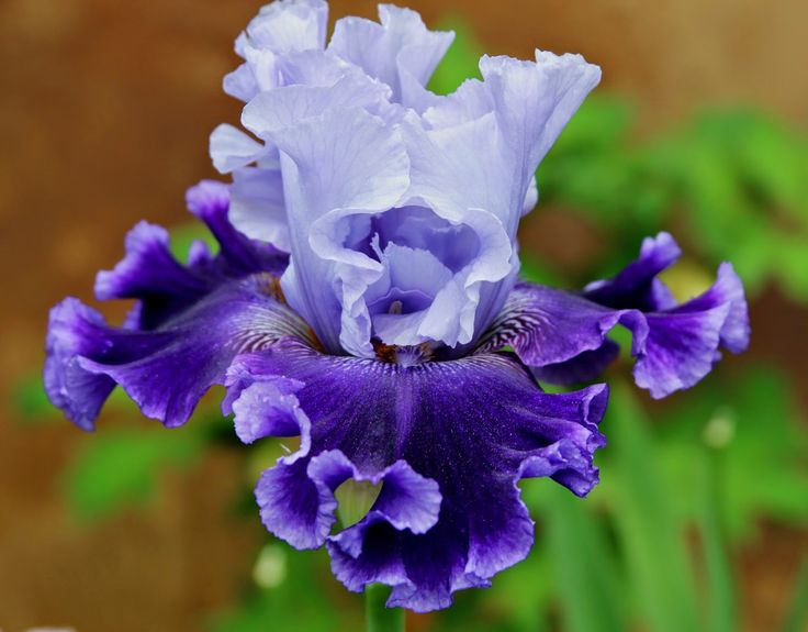 World of Irises: 'Global Crossing'  TALL BEARDED IRISES & COMPLEMENTARY COLOR SCHEMES--Planning your iris bed
