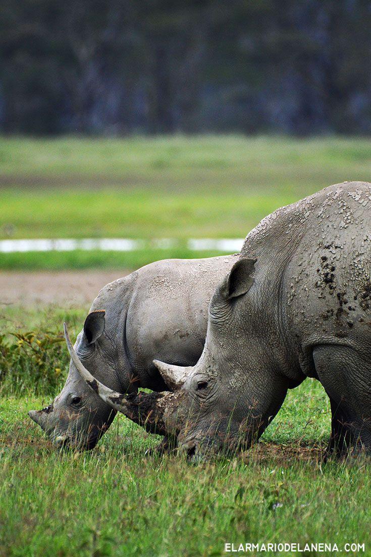Rhino (Nakuru - Kenya)