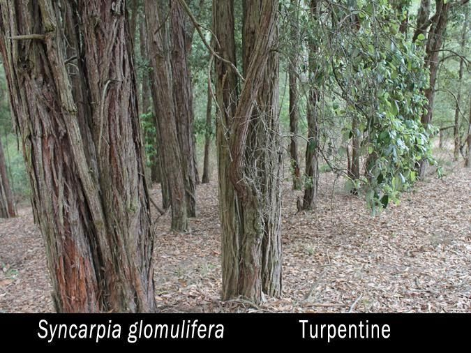 turpentine therapy Turpentine and rosin are produced today in a limited way by the distillation of wood products at the market place i might add, the tenant or sharecropper usually.