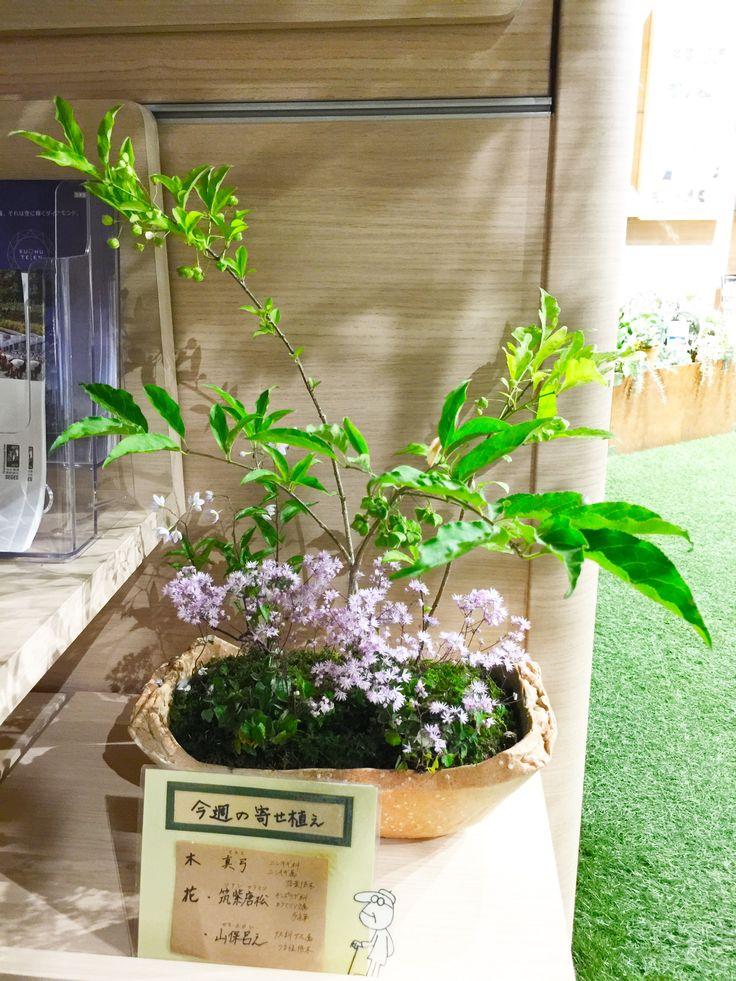 6/20 ◯マユミ(真弓,檀)ニシキギ科 ニシキギ属 落葉低木雄雌異株 古来から弓の材料として使われた。林などに自生。秋に果実と種、紅葉を楽しめることから庭木として親しまれている。盆栽などにて仕立てられている。替えの花○ツクシカラマツ(筑紫唐松)キンポウゲ科カラマツソウ属 多年草日本全土に分布カラマツソウは夏の代表的な山野草 本種は交配品種替えの花○ヤマホロシ(山保呂之 別名:ツルハナナス、ソラナム)ナス科ナス属 つる性低木明治時代に観賞用園芸植物として渡来。
