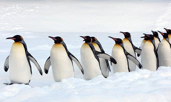 Que Comen Los Pinguinos2