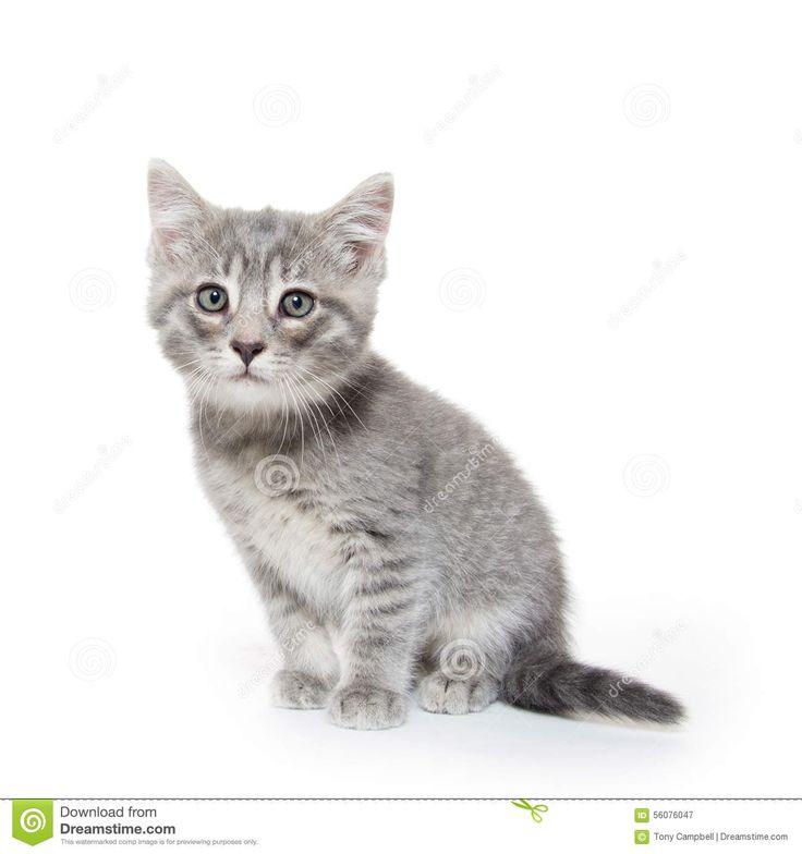 Милый серый котенок Tabby на белизне Стоковое Фото - изображение: 56076047
