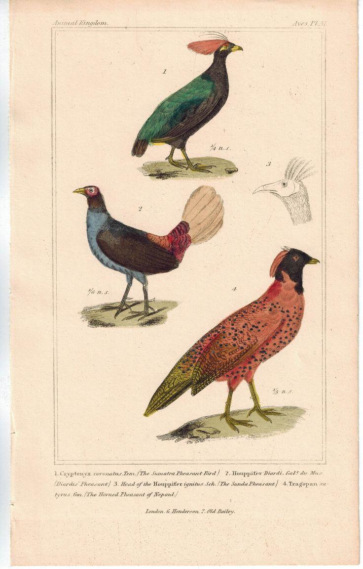 Birds Sumatra Pheasant Diardis Pheasant & Sunda Pheasant Color Cuvier Print