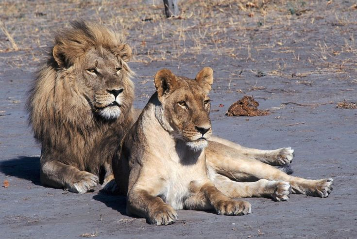 POLL: Should 'canned' lion hunting be banned? by Supertrooper http://focusingonwildlife.com/news/poll-should-canned-lion-hunting-be-banned/