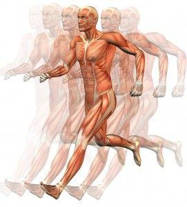Músculo esquelético: anatomía funcional (I) http://blgs.co/hpBDfa