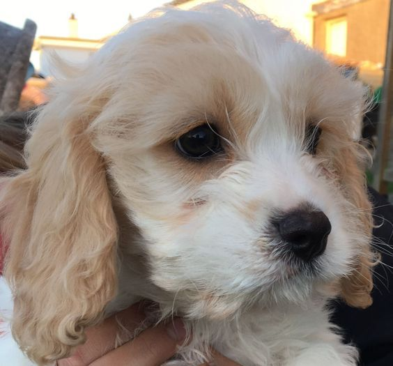 best quality cavachon puppies, cavachon for sale, designer dogs at best price, hybrid cavachons buy online, best litters buy online, litters online buy, visit at atohcavachon.com