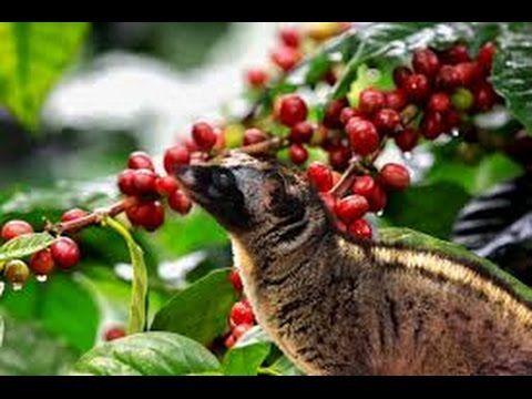 How to make Vietnamese coffee? Weasel Coffee - The World's Most Expensive.Coffee ..Info:  https://goo.gl/vcamwU
