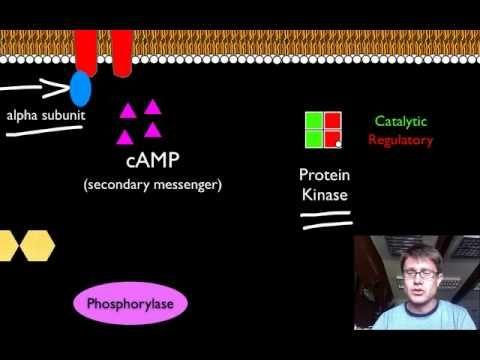 Bozeman Biology: Signal Transduction Pathways - good intro to daf-18 (protein phosphatase) mutant in C. elegans