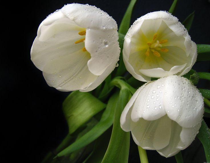 Белые тюльпаны, букет, художественный снимок.