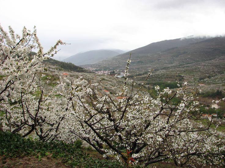 La floración de los cerezos es cada año un espectáculo increible. Hoy (28/III/2014) llovía  pero igualmente fue mágico.