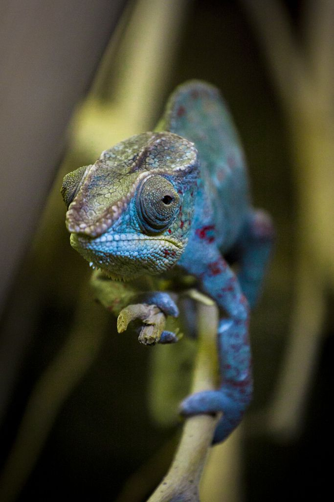 reptiles animal chameleon frog - photo #18