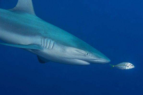 Un piccolo carangide approfitta della pressione ondosa creata dallo squalo per nuotargli proprio davanti al naso.